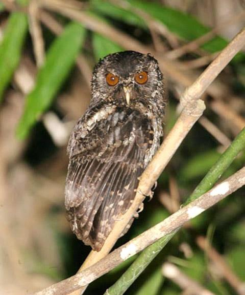 Autillo de Palawan: Otus fuliginosus