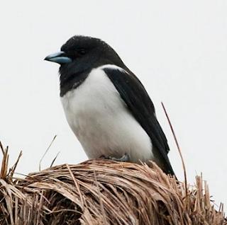 Kekep besar atau Great Wood-swallow yang nama ilmiahnya (Artamus maximus) ini adalah jenis burung kekep yang habitatnya juga dapat dijumpai di Indonesia.