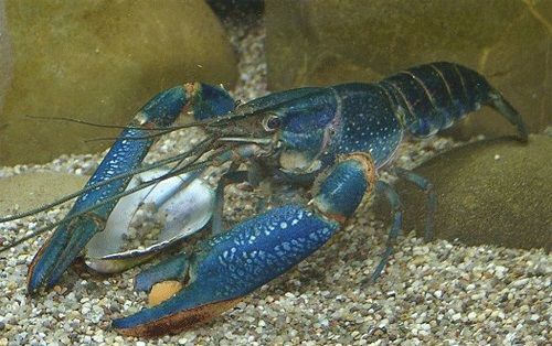 Pembenihan Lobster Air Tawar