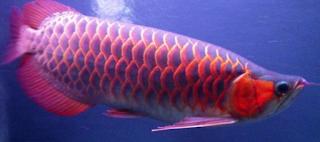 Ikan Arwana Chili Red