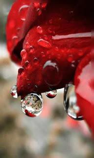 Flor roja con gotas de agua fondos wallpaper para teléfono móvil resolución 480x800