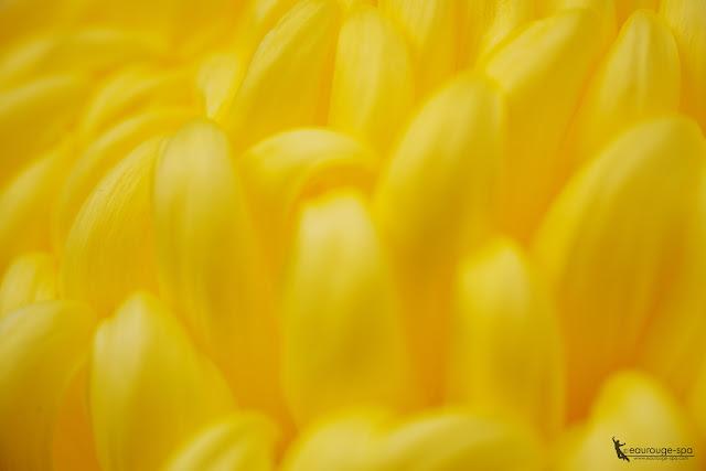 yellow-chrysanthemum