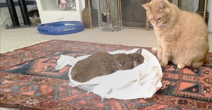 """Cat's best friend passed away from illness, so his owners let her say """"goodbye"""" to him one last time"""