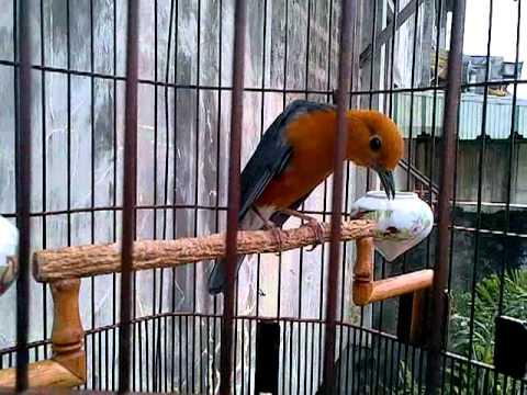 Tips Agar Burung Anis Merah Teler Gacor
