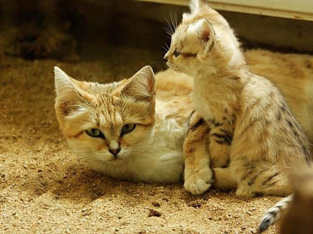 sand-cats-kittens-forever-8