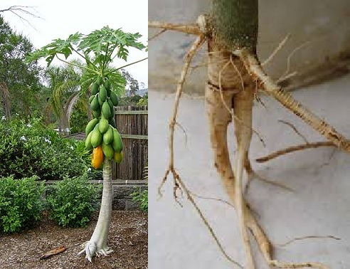 Hasil gambar untuk akar pepaya gantung