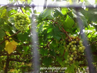 pokok anggur cameron highland