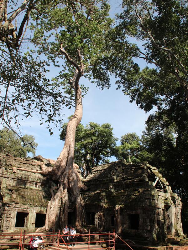 Ta Phrom Angkor Arbol