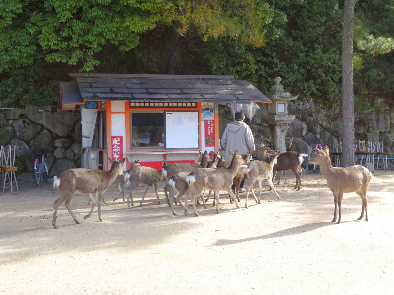 Man being followed by many deers in Miyajima Island, Hiroshima