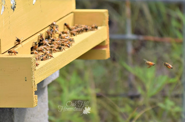 Lots of activity at the door of the beehive, taken by our granddaughter.