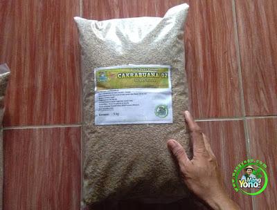 PETANI Cipunagar, Subang Jabar.   Pembeli Benih Padi CAKRABUANA 02 (CB02) 90 HST Panen