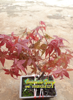 Bonsai Japanese Red Maple
