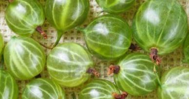 Uva spina, coltivazione, cura, potatura e consigli utili