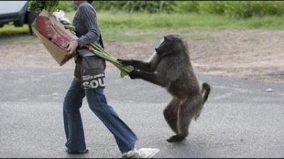 scimmia che attacca un uomo