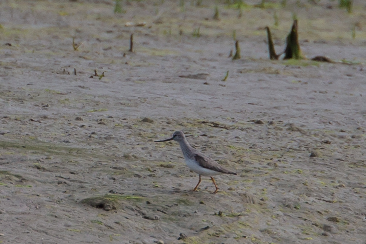 Terek Sandpiper (Church Norton)