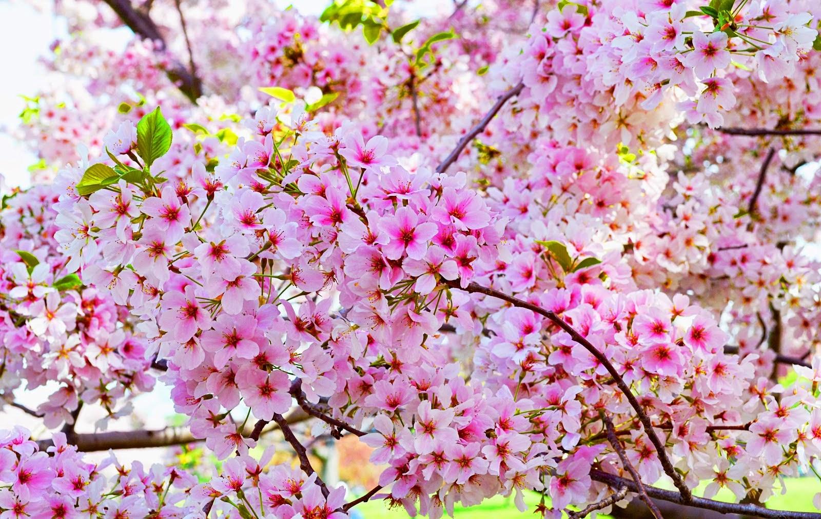 hewan lucu 2016 animasi bergerak bunga sakura berguguran