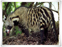 African Civet Animal Pictures