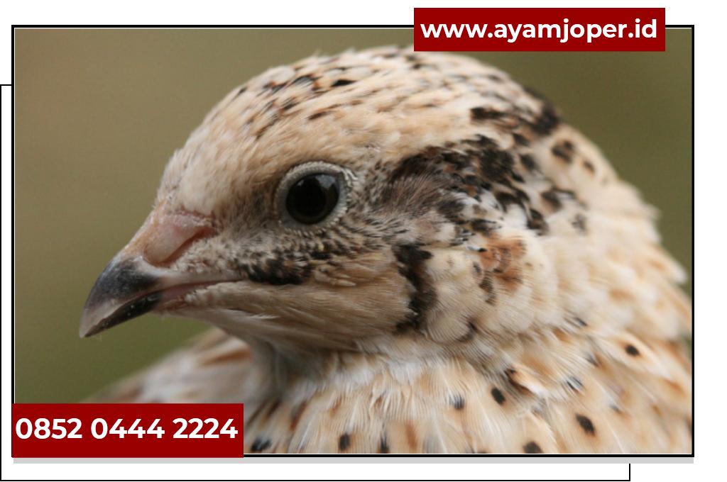 Jual Bibit Burung Puyuh Semarang