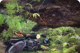 Seorang Pengendara Tewas Tertimpa Pohon Tumbang di Kota Jayapura