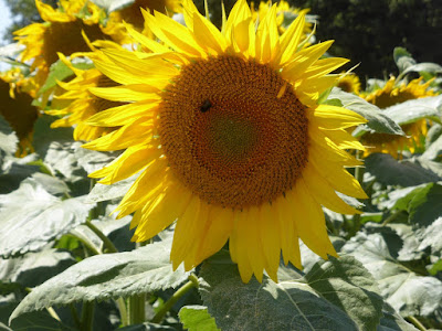 Sunflowers with large yellow heads