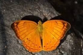 'Tamil Yeoman' or 'Tamil Maravan' declared as state butterfly