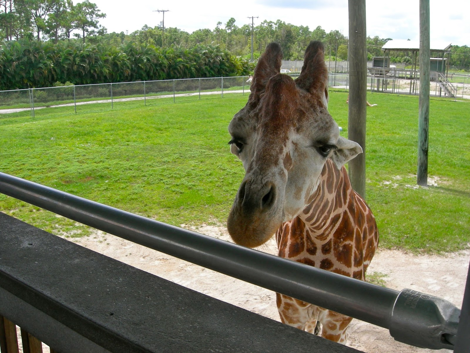 Giraffe at Lion Country Safari, Loxahatchee, FL - ouroutdoortravels.blogspot.com