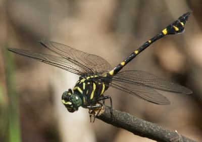 Ictinogomphus decoratus