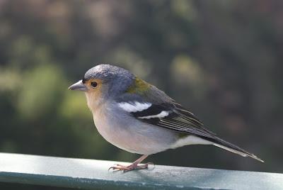 Eurasian Chaffinch