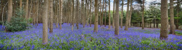 Bluebell panoramic in Warwickshire By Martyn Ferry Photography