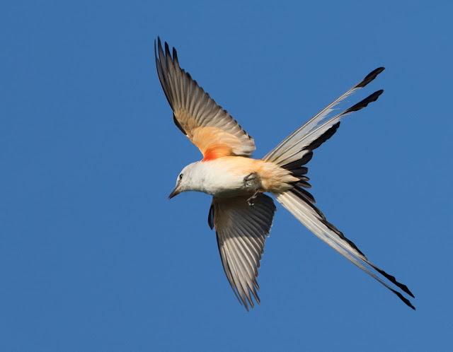 Scissor-tailed Flycatcher - Florida