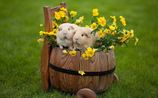 Cavia achtergrond met twee cavia's op een houten ton tussen de gele bloemen