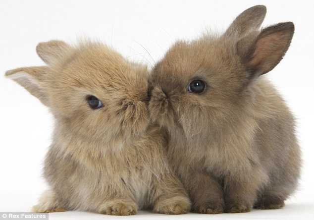 Two kissing rabbit