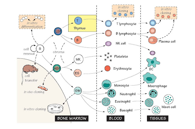 Cells Involved In Immunity: The Haemopoietic System