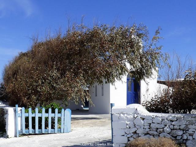 Pochyłe drzewo eukaliptusa osłania białą grecką cerkiew na Mykonos w tle błękitne greckie niebo