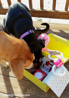 Sophie & Penny checking out their #SurpriseMyPet box - Get one for your dogs and SAVE 15% with #coupon code LAPDOG #JoinThePawty #LapdogCreations ©LapdogCreations