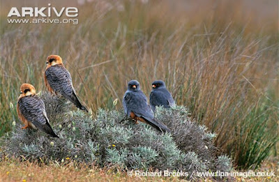 Red footed Falcon female and males