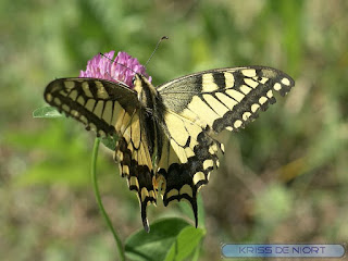 Machaon - Grand porte-queue - Papilio machaon
