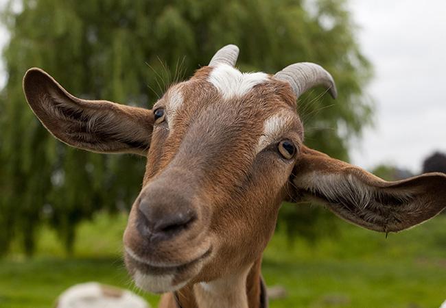 Penelitian Goats prefer positive human emotional facial expressions