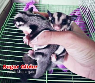 Ciri Ciri Sugar Glider