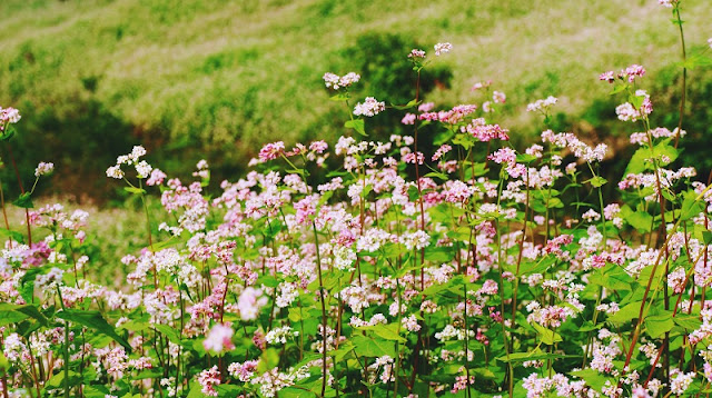 Impressive with buckwheat flower in Ha Giang stone plateau