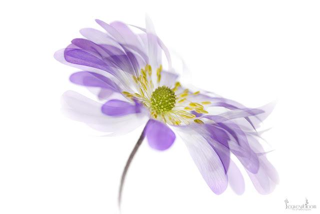 anemone blanda high key photo impressionist