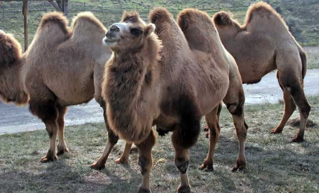 bactria camel