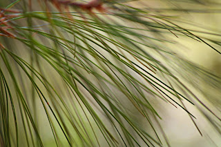 NATURAL TEXTURES pine needles2.jpg