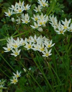 False Garlic Toxic Flowers