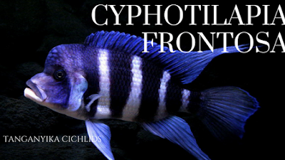 cyphotilapia frontosa