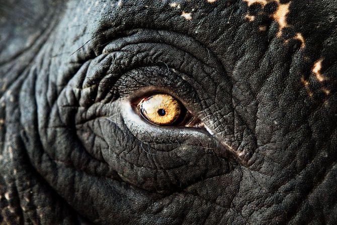 Ojo de elefante en la India