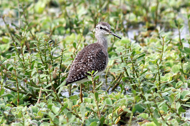 Wood Sandpiper, another common winter visitor in Hoskote lake