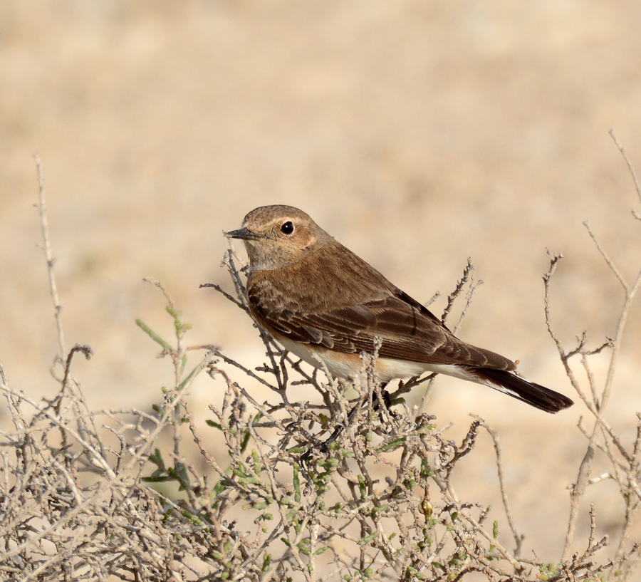 Pied Wheatear - female