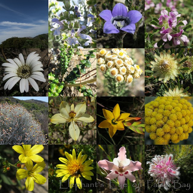 Elsie's Peak above Glencairn October flowers