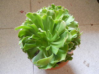 planta crasa bejeque